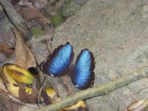 Die wunderschöne Art der blauen Schmetterlinge