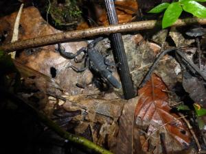 Ein gesichtetes Skorpion