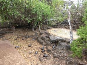 Viele kleine Baby-Schildkröten im Darwin-Reseach-Center