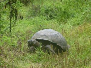 Eine gigantische Landschildkröte