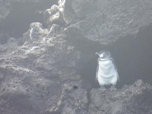 Der endemische und kleinste Pinguin der Welt
