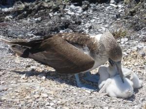 Eine Blaufußtölpelmama mit ihren Babys