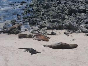 Seehunde und Meeresechsen friedvoll nebeneinander