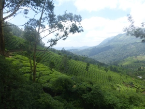 The endless teaplantations in Munnar